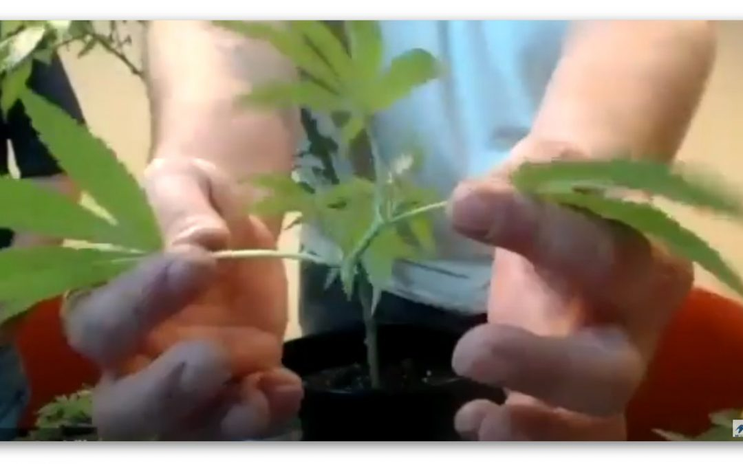 Hemp Plant Cloning on iHemp Hour