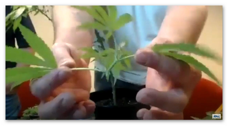 close up of hemp plant